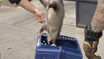 NYPD rescues opossum hiding on Third Avenue/Andrew Fine